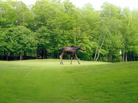 Moose_8th_hole